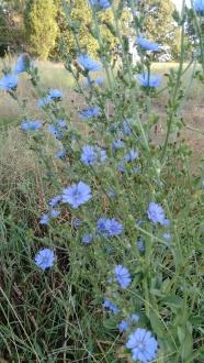 Radicchio Blooms