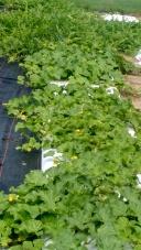 Fall cantaloupe